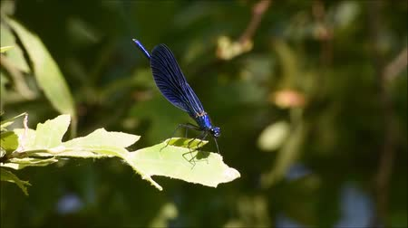 coleopteres : Dragonfly landing and flying from the green leaf. Dragonfly standing on green leaf.