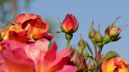 polinização : Rose with red, pink, orange and yellow colors and flowers swaying in the wind.