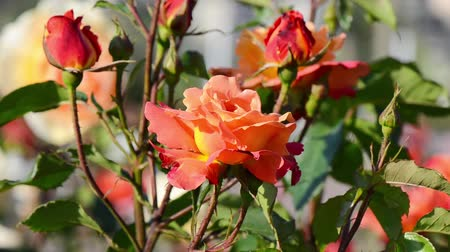 polinização : Rose with red, pink, orange and yellow colors and dancing flowers swaying in the wind.