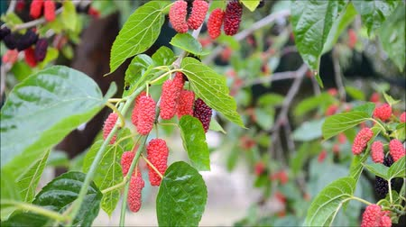 dut : Fresh mulberry fruits on branch of red mulberry tree. Birds singing morning time.