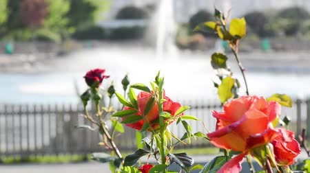 polinização : Rose with red, pink, orange and yellow colors swaying and dancing in the wind. Fountain spouts in a pond behind the flowers. Stock Footage