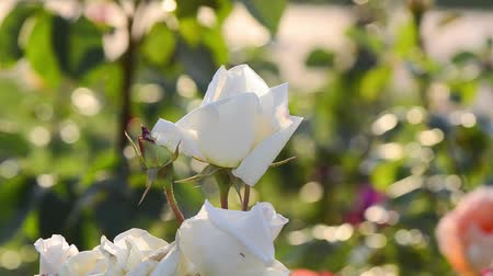 polinização : Rose with white color flowers swaying and dancing in the wind.