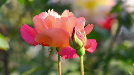 polinização : Rose with pink, yellow and orange colors flower swaying and dancing in the wind.