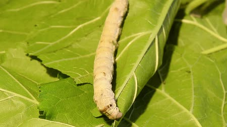 silkworm : Silk worm eating mulberry leaves. Silk worm feeding with green mulberry leaf.