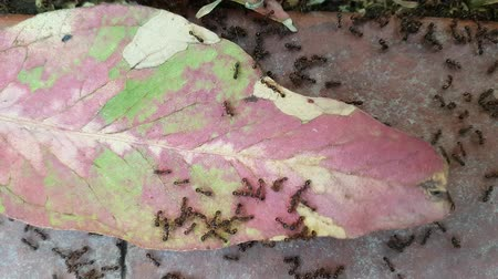 Ants working on a leaf. Ants traffic. Stock Footage