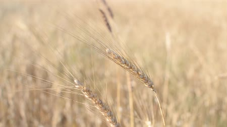 Ears of wheat lulled by the summer breeze