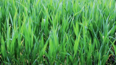 yards : FullHD video of green grass on the field close-up