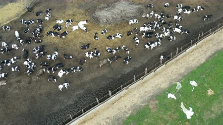 Top view of a lot of cows on a farm in ra countryside
