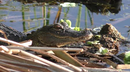 swamps : A Little American Alligator suns itself on shore. Stock Footage
