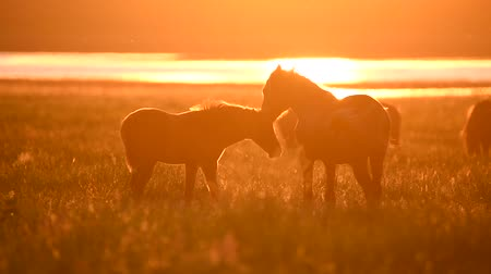 Wild mustangs graze at sunset Стоковые видеозаписи