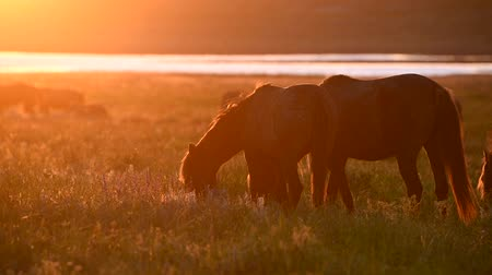 Wild mustangs graze at sunset Stock Footage