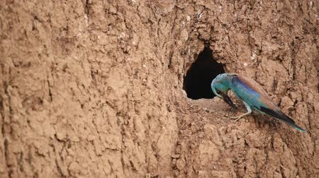European roller or coracias garrulus near nest hole Stock Footage