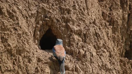 глина : European roller or coracias garrulus near nest hole Стоковые видеозаписи