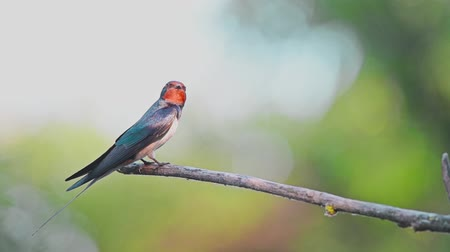 Barn Swallow or Hirundo rustica perches on branch Stock Footage