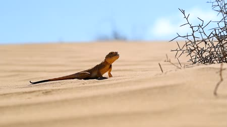 Spotted toad-headed Agama on sand close Stock Footage