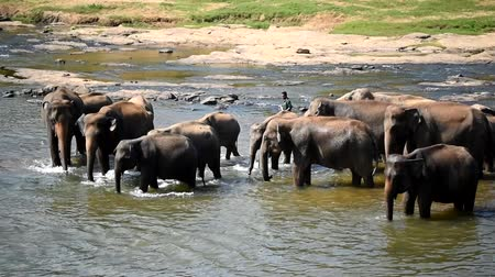 Elephants bathing in the river Стоковые видеозаписи