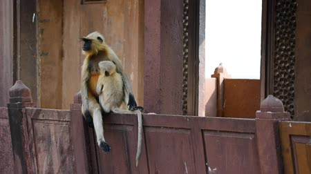 Gray langur or Semnopithecus dussumieri sits on wall Стоковые видеозаписи