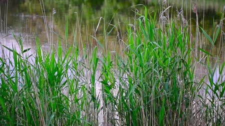 inculto : Reed near the lake or river