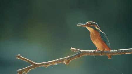 Kingfisher or Alcedo atthis perches with prey Stock Footage