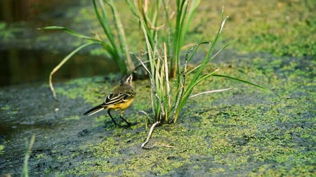Western Yellow Wagtail or Motacilla flava on ground