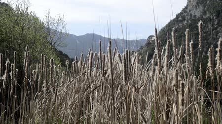 inclinado : The  Typha grows robust in paludariums and river zones. Stock Footage