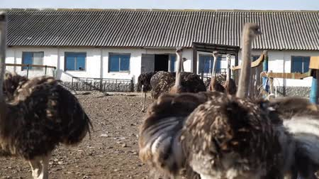 garden route : Ostrich on the farm