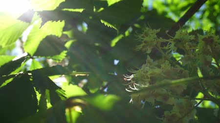 linden : Fresh young green chestnut bloom bright sun light, close up shot.