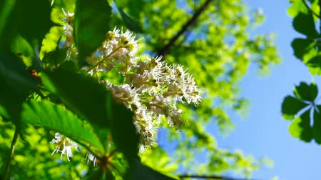 Fresh young green chestnut bloom bright sun light, close up shot.