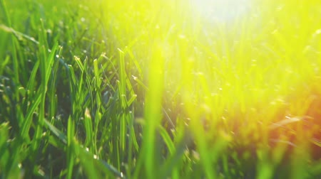 Fresh green grass natural background texture, lawn for the background. Shine of sunlight