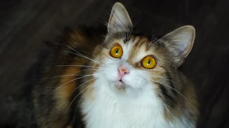 çevik : Close up of beauty cat snarling. Wild yellow eyes. Stok Video