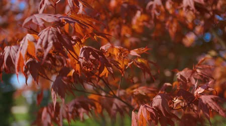 Red maple tree foliage under sunlight background. Red Sunset tree