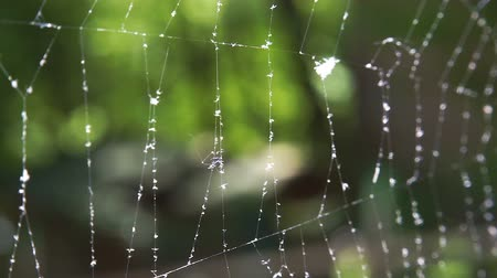 Cobwebs in the forest with dew drops. Wideo