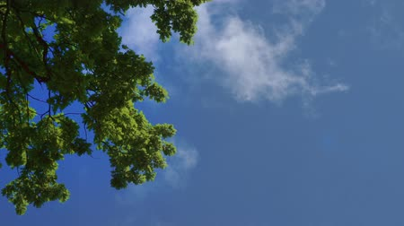 Green oak trees foliage against the blue sky. Oak trees against the sky and clouds. Original sound. Wideo
