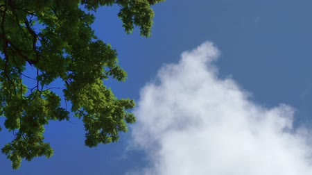 Green oak trees foliage against the blue sky. Oak trees against the sky and clouds. Wideo