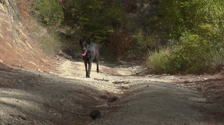 Young black malinois dog in the forest. Belgian Shepherd. Wideo