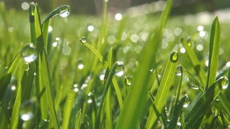 Grass with morning wew drops. Closeup shot with soft focus. Abstract background
