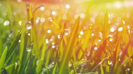 Grass with morning dew drops. Closeup shot with soft focus. Abstract background