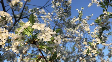 dangle : Cherry blossom swaying over blue sky