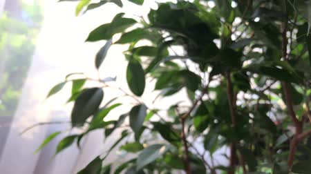 Green leaves almost defocused with sun back light