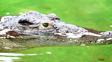 atenção : Dangerous crocodile lounging by a river of green water, rough skin detail Stock Footage