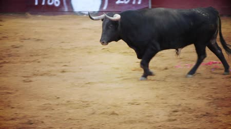 býci : Powerful spanish bull, bullfight arena