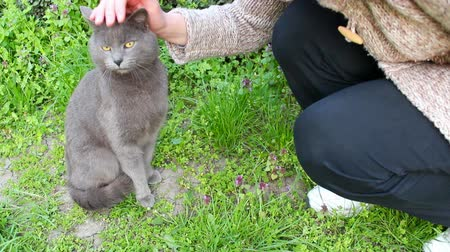 sziámi : Lovable cat ; Beautiful Russian blue cat lying in the yard and resting,video clip