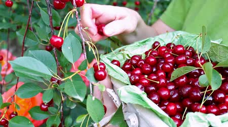 Basket full of cherries ; Women harvested ripe cherries in the orchard and put them in a wicker basket,video clip Wideo