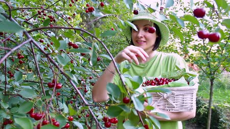 feltörés : Women picked cherries ; beautiful young woman picked ripe cherries in the orchard,video clip Stock mozgókép