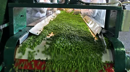 сырой : Peas processing factory ; workers on the conveyor belt control the quality of of raw peas before going to processing, video clip Стоковые видеозаписи