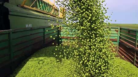 Pouring peas ; tipping peas from the combine to the tractor trailer,video clip Wideo