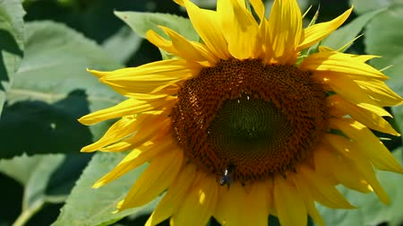 błonnik : Sunflower Year Color ;  Sunflower Year Color it swings to the breeze while bees collect pollen,video clip