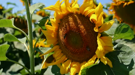 termés : Bees on sunflower ; Sunflower Year Color it swings to the breeze while bees collect pollen,video clip Stock mozgókép