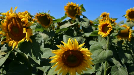 błonnik : Sunflower field ; Sunflower Year Color it swings to the breeze while bees collect pollen,video clip Wideo