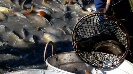 fishermen : Sorting of fish ; Fishermen classified caught Carp fish in size and weight,video clip